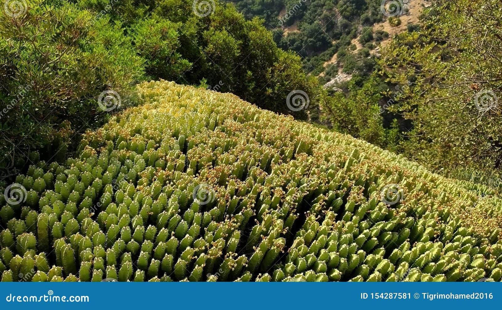 Árbol de Zucum