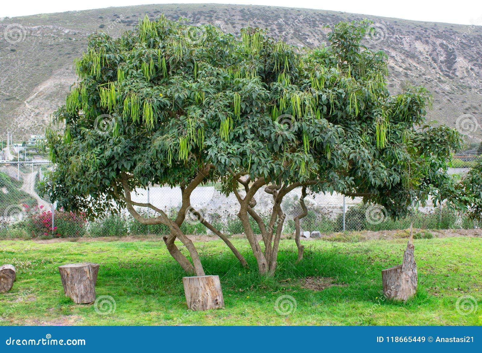 árbol Del Acacia Con Las Habas En Las Montañas Imagen De Archivo
