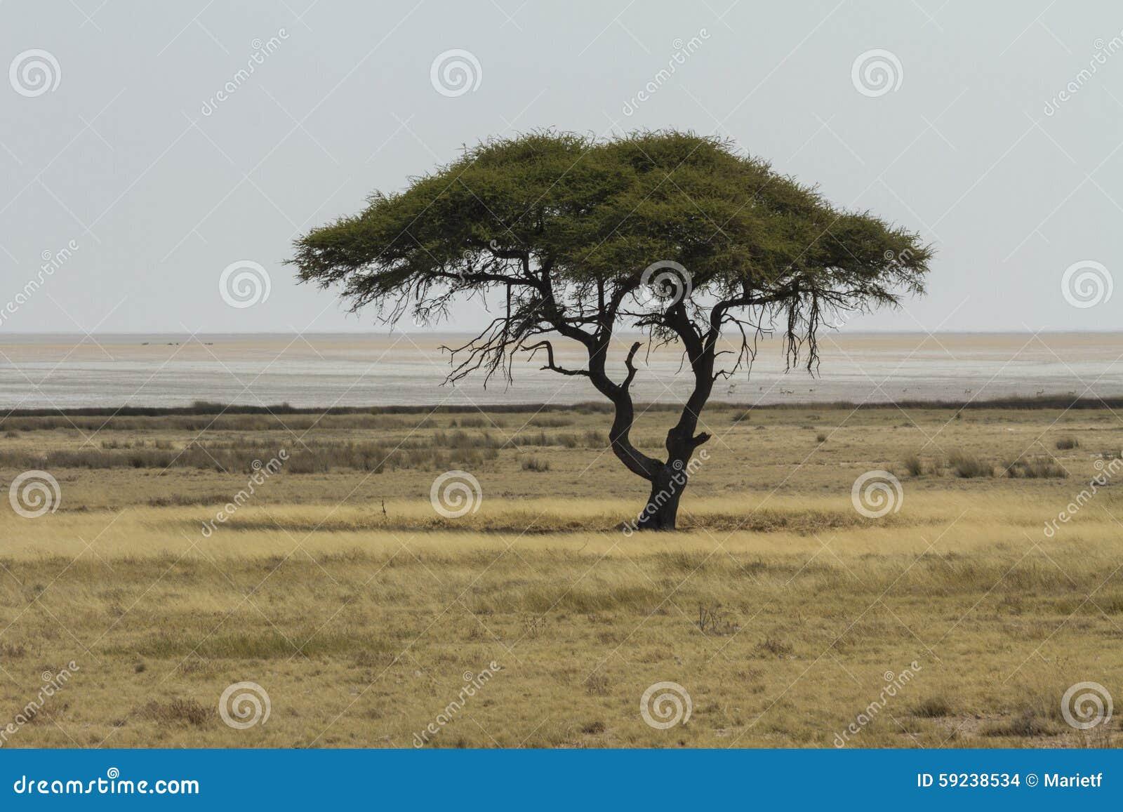 Download Árbol Del Acacia De La Espina Del Camello Y La Cacerola De Etosha Foto de archivo - Imagen de serene, recorrido: 59238534