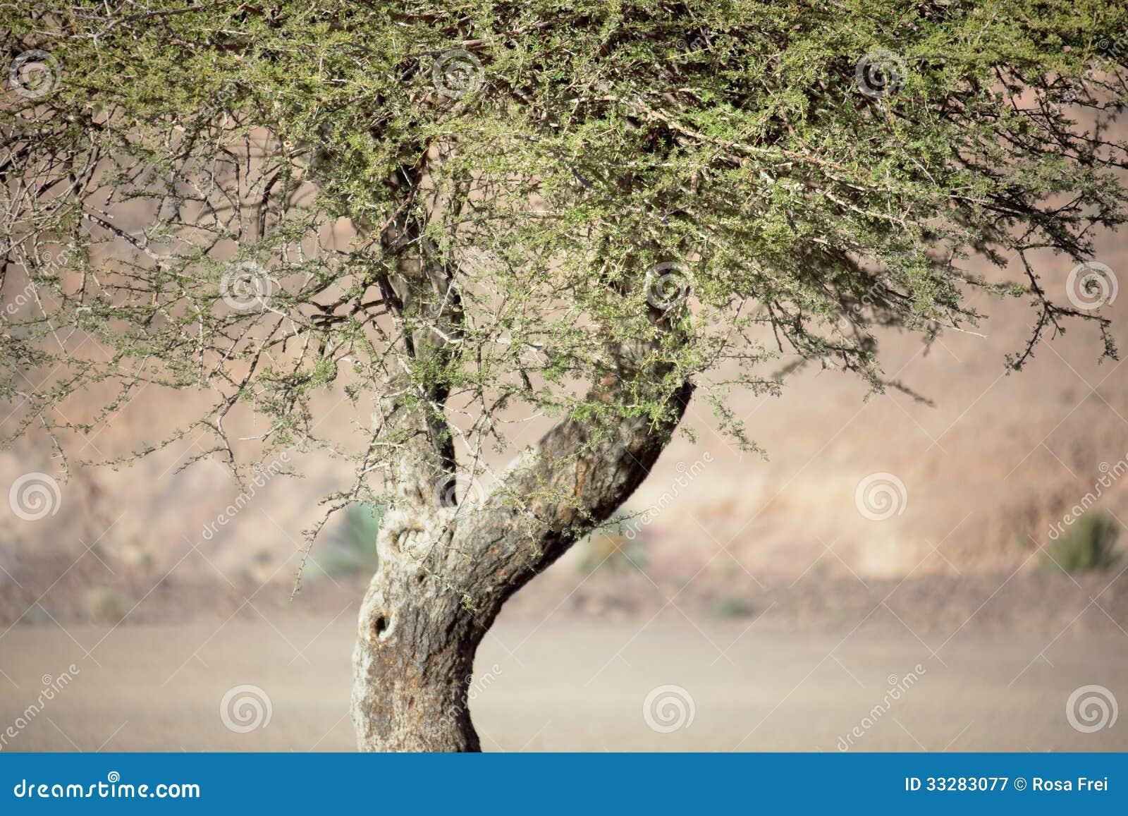 Árbol del acacia de Sáhara (raddiana del acacia).