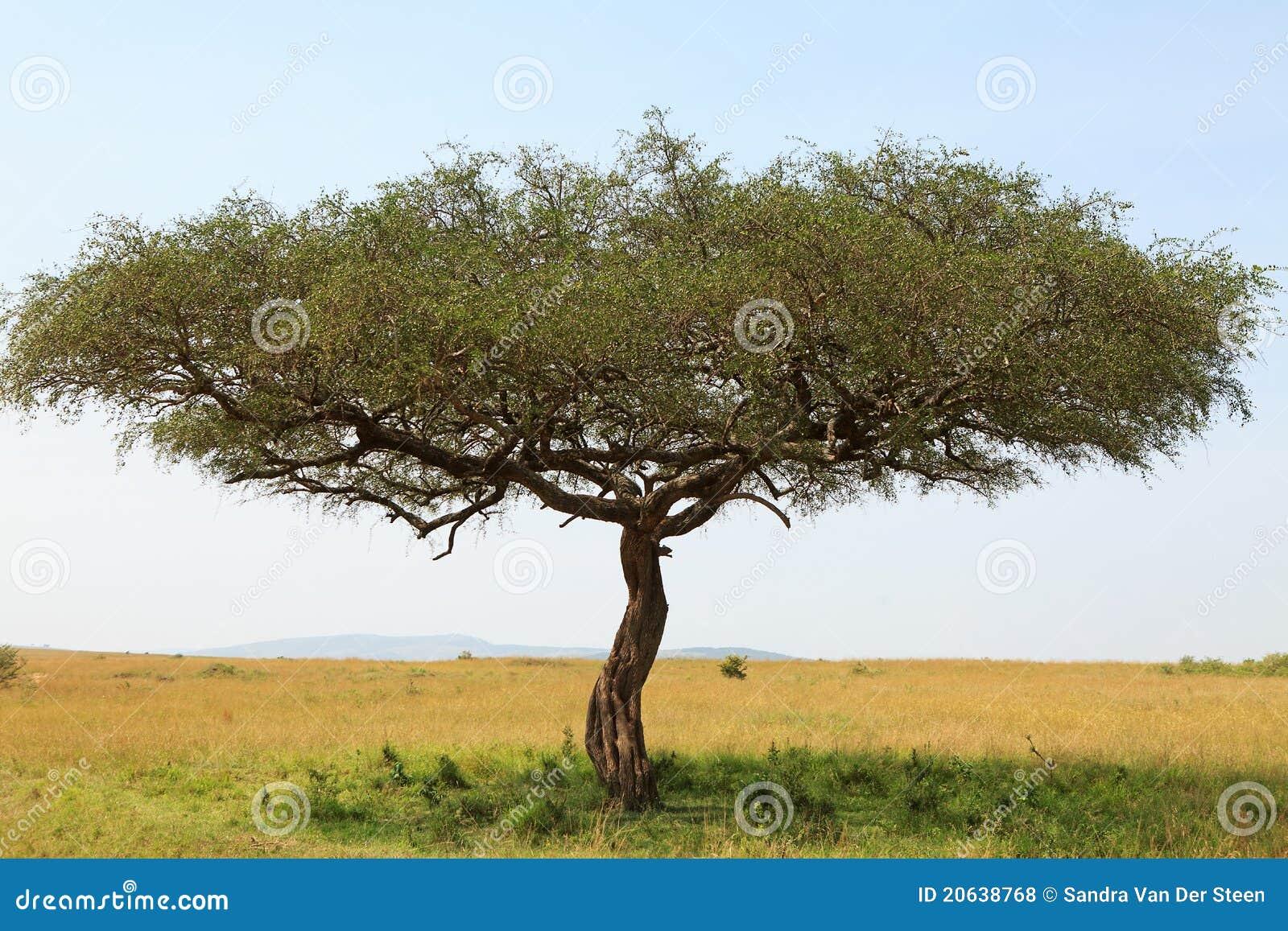 Rbol del acacia en frica foto de archivo imagen de for Arbol de fotos manual
