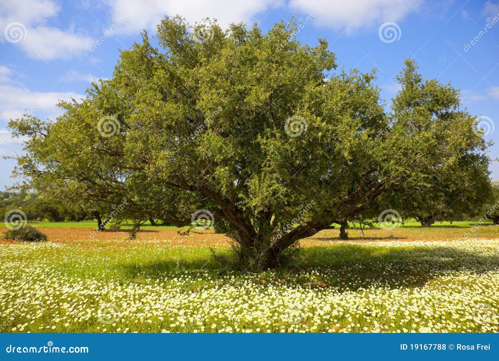 Árbol del Argan con las tuercas en ramificaciones