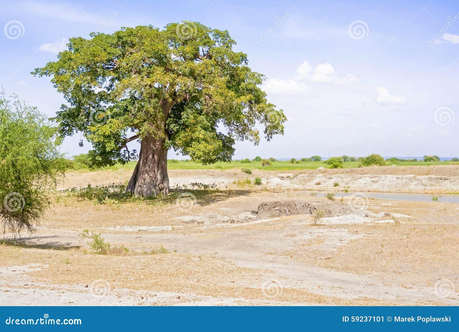 Árbol del baobab en Tanzania