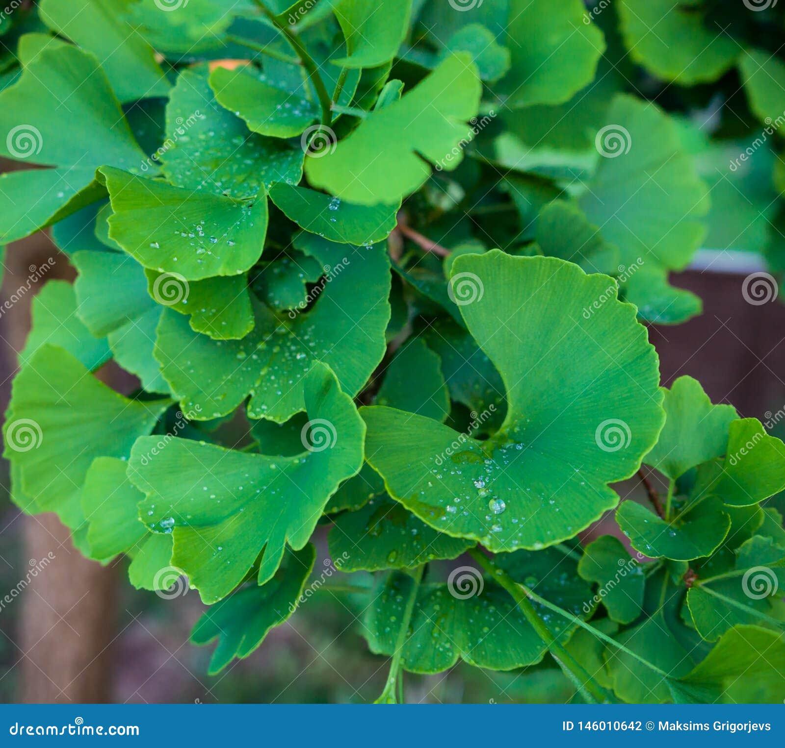 Árbol del biloba del Ginkgo en el jardín verde casero