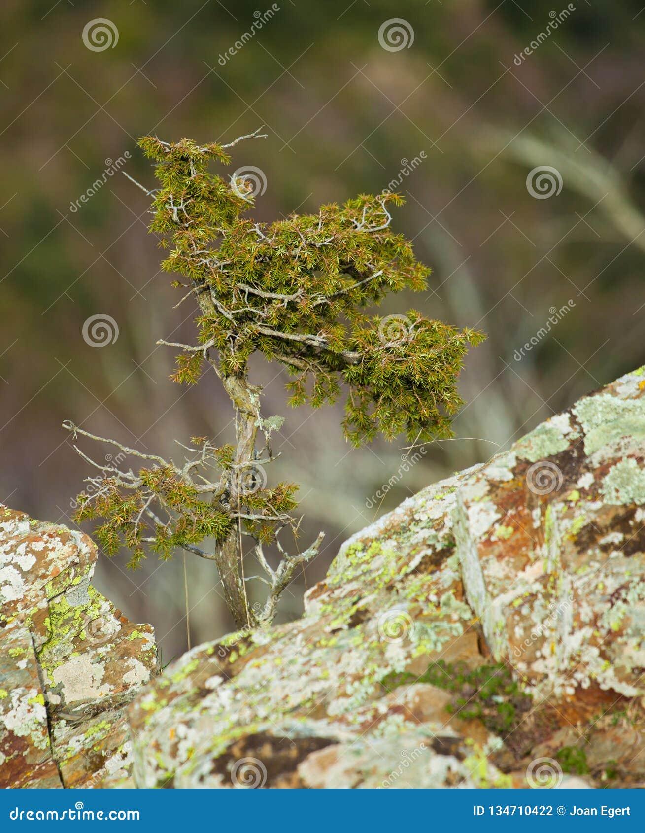 Árbol del enebro común que crece en rocas de la montaña