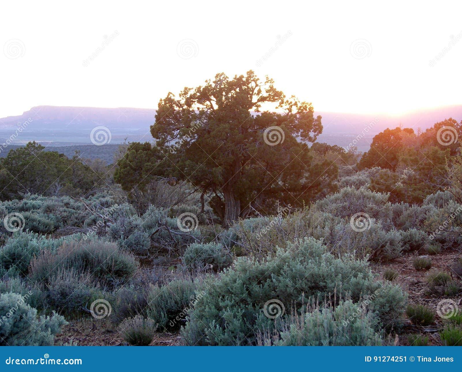 Árbol del enebro en la puesta del sol