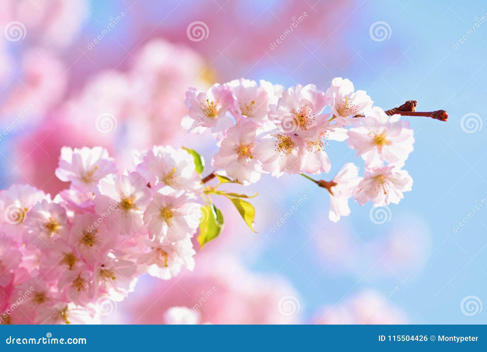 Árbol del flor fondo de la naturaleza en día soleado Apenas llovido encendido Huerta hermosa y fondo borroso extracto Concepto pa