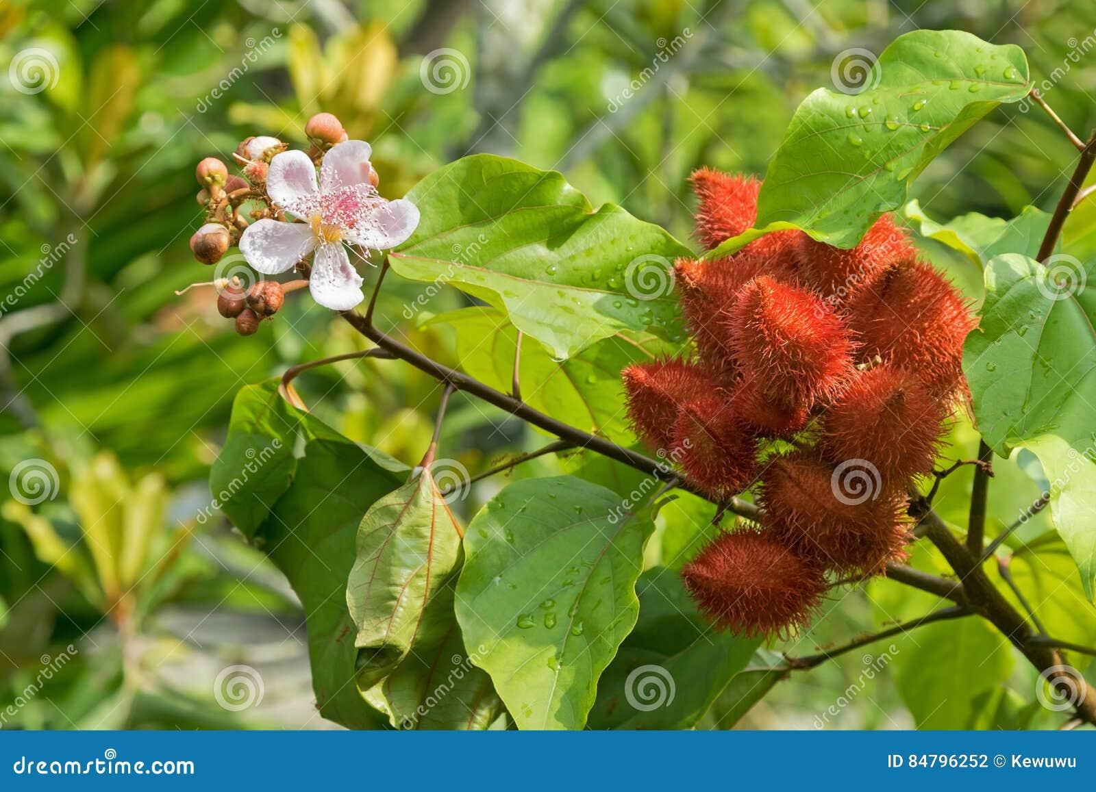 Rbol del l piz labial flores de achiote y vainas rosadas for Arbol rojo jardin