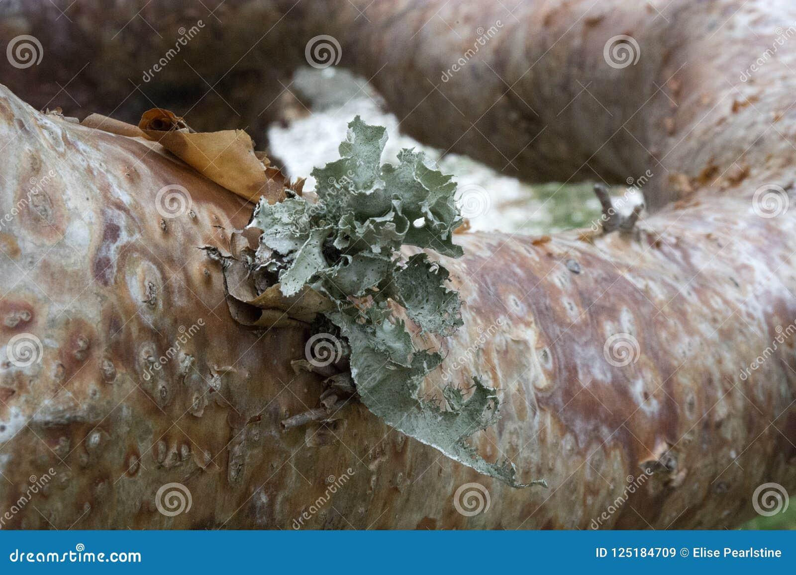 Árbol del limbo del Gumbo en la Florida tropical con la corteza y Lichen Details