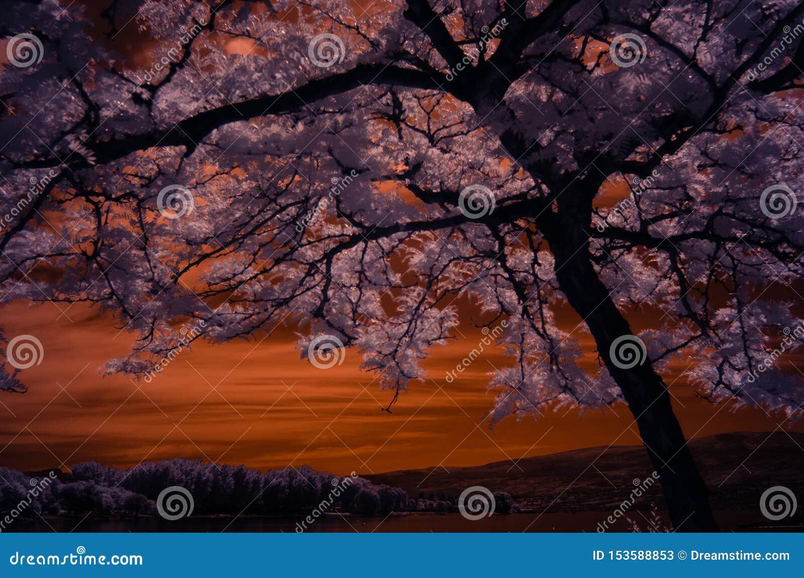 Árbol del loctus de la miel del resplandor solar tirado en infrarrojo con las hojas rosáceas con un cielo de oro sobre la montaña