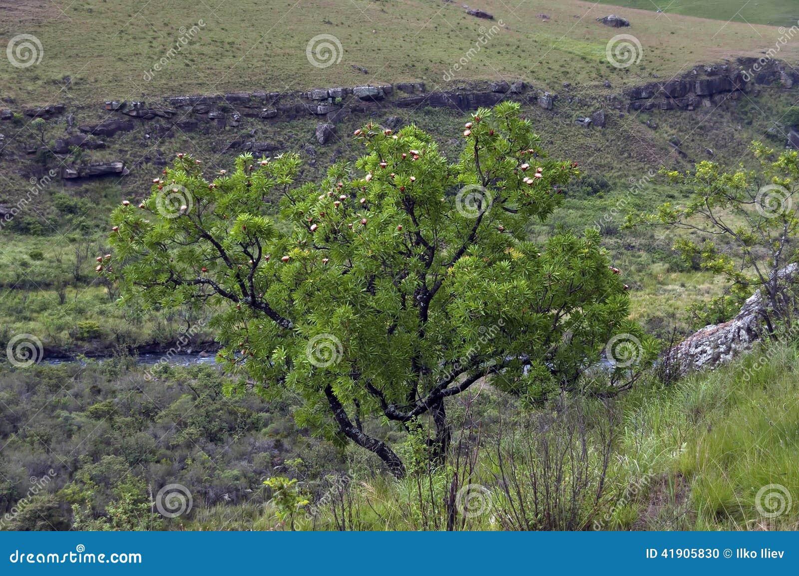 Árbol del Protea en el castillo de Giants