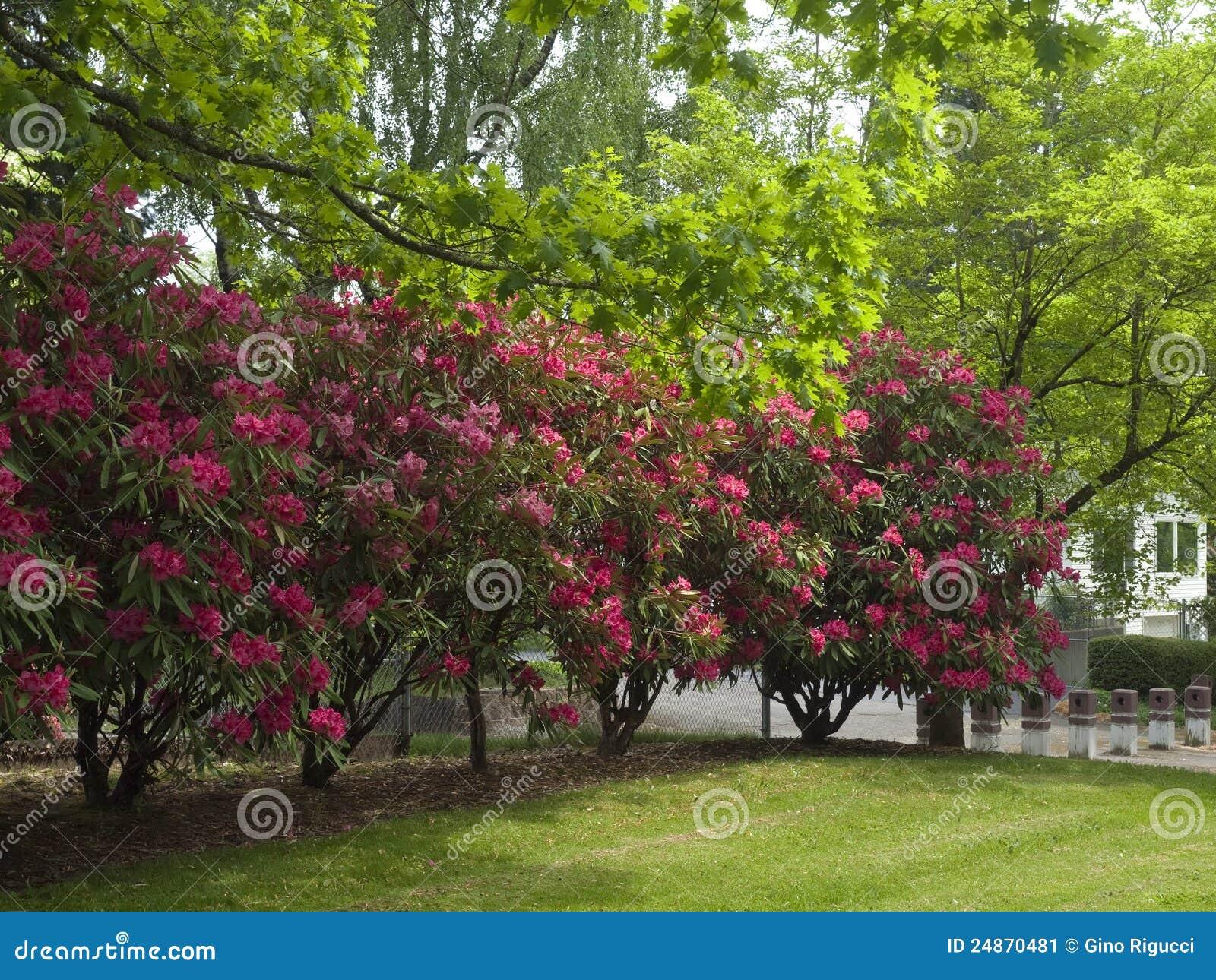 Rbol del rododendro imagen de archivo imagen 24870481 - Rododendro arbol ...