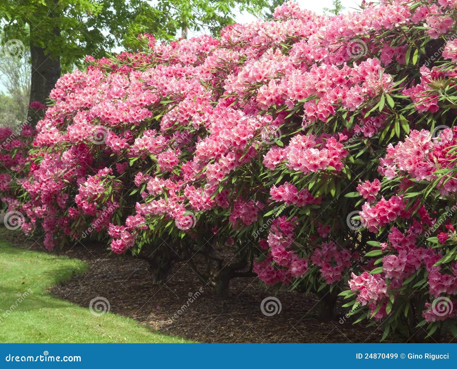 Rbol del rododendro imagen de archivo imagen de - Rododendro arbol ...