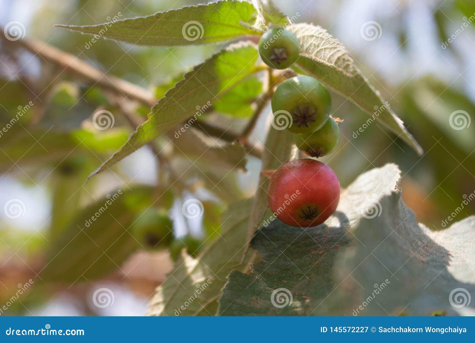 Árbol del rukam del Flacourtia