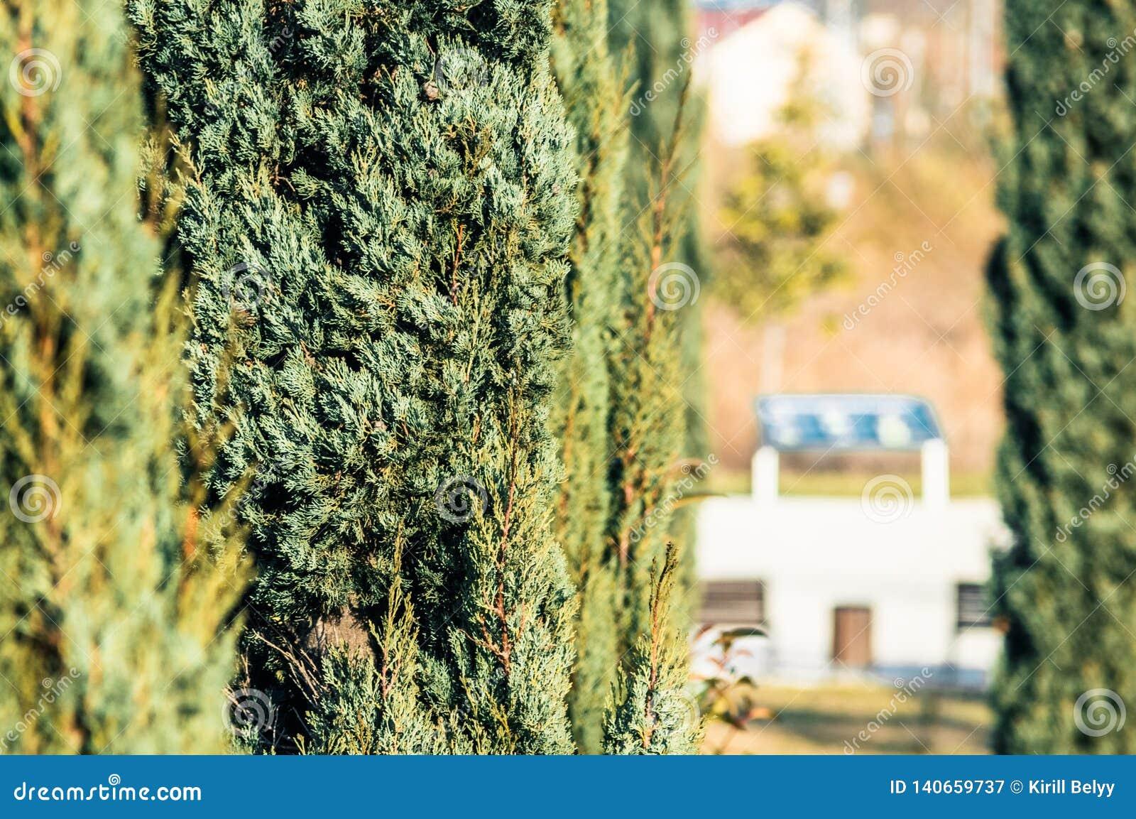 Árbol del Thuja en el parque
