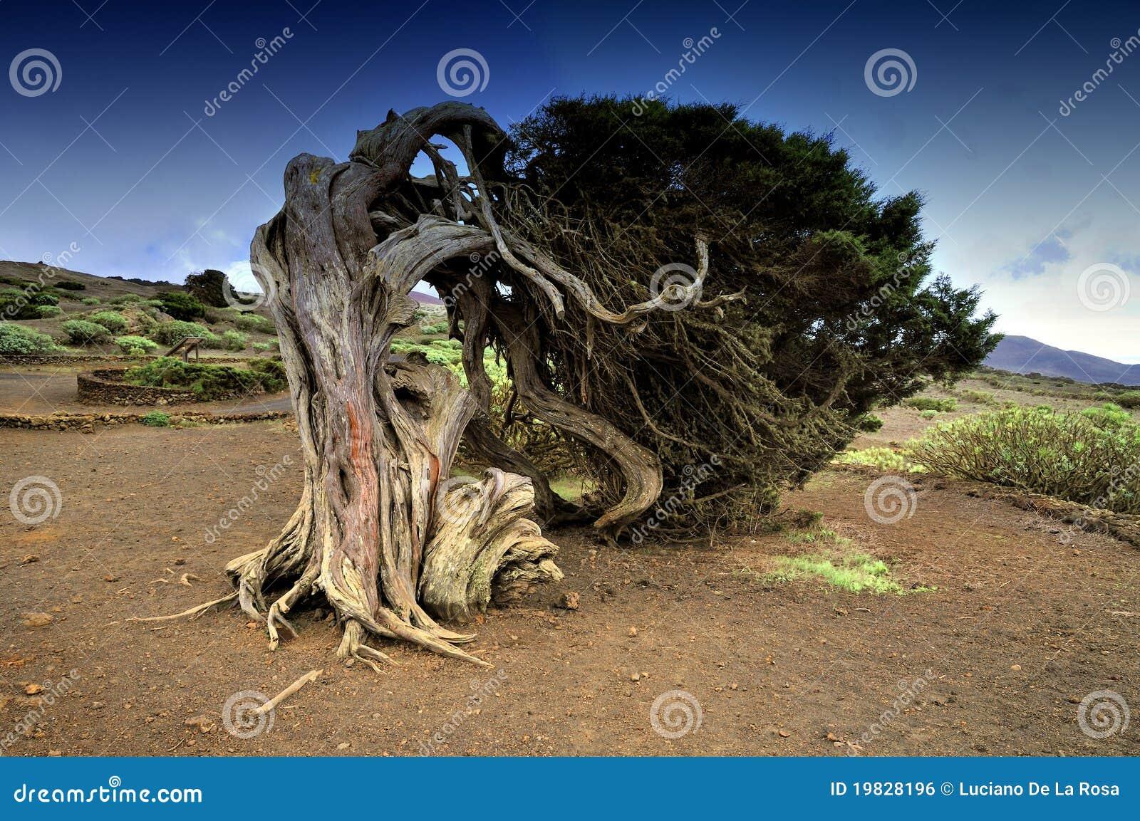 Árbol en la isla del EL Hierro, islas Canarias