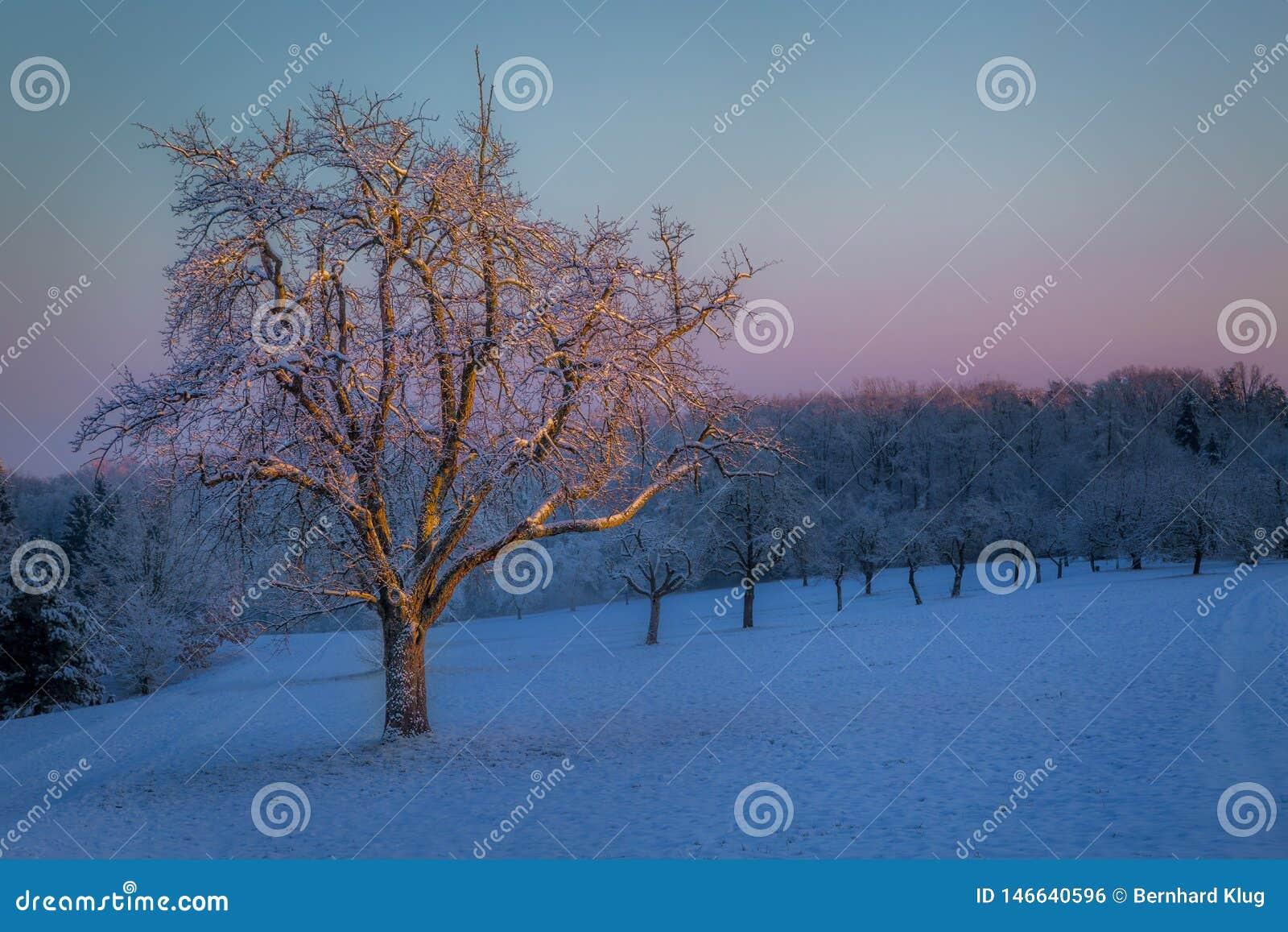 Árbol en la primera luz de la mañana en un día de invierno frío