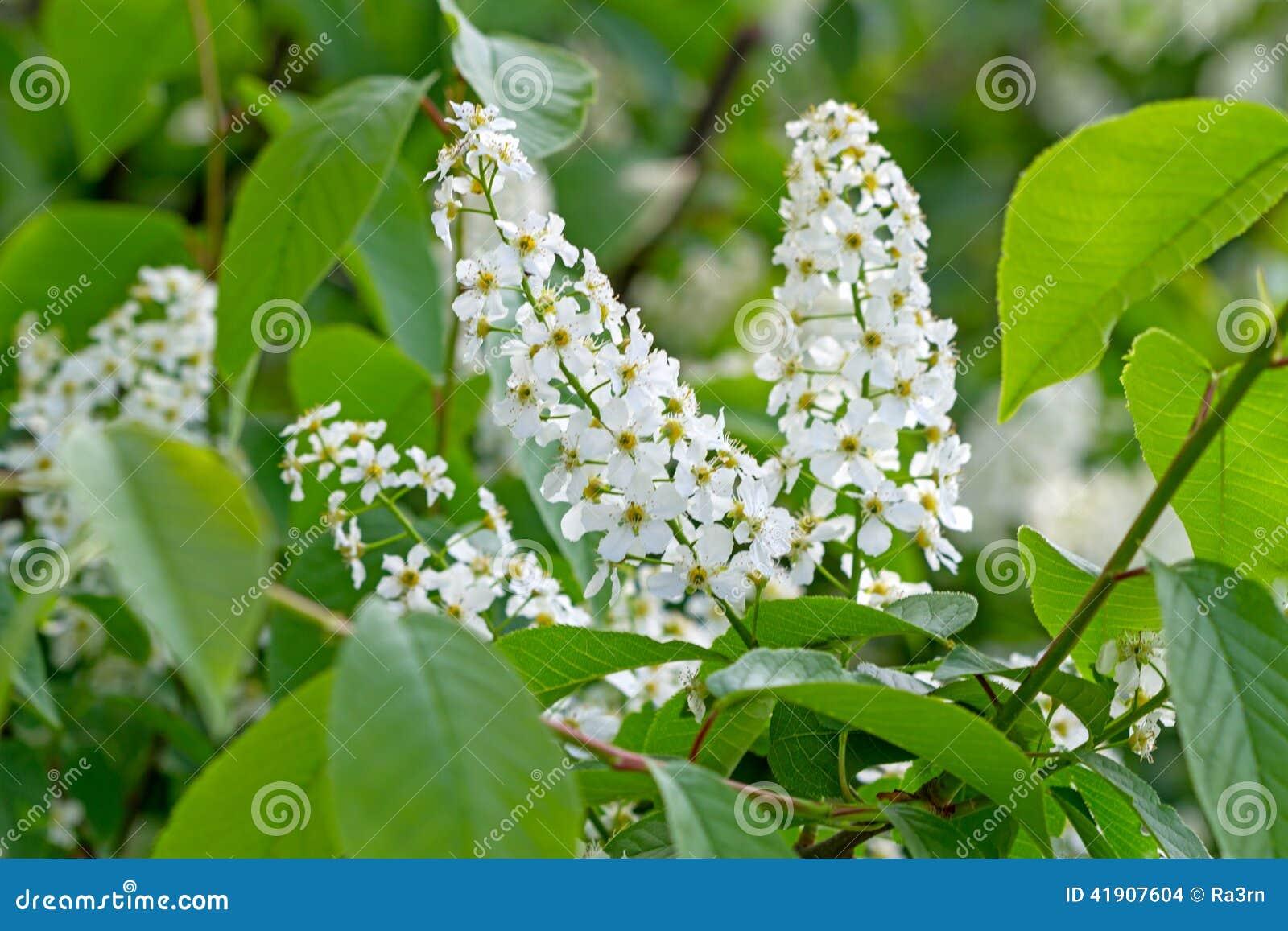 Árbol floreciente de la pájaro-cereza
