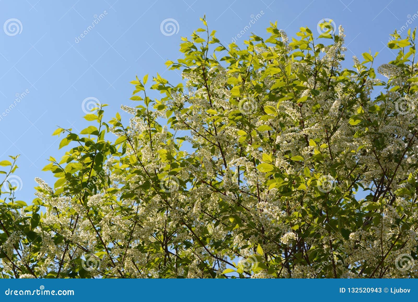 Árbol floreciente de la pájaro-cereza en día de primavera soleado Ramas con las flores y las hojas contra el cielo azul claro