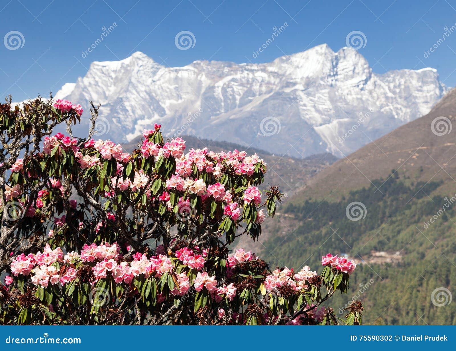 Rbol floreciente del rododendro primavera en himalaya - Rododendro arbol ...