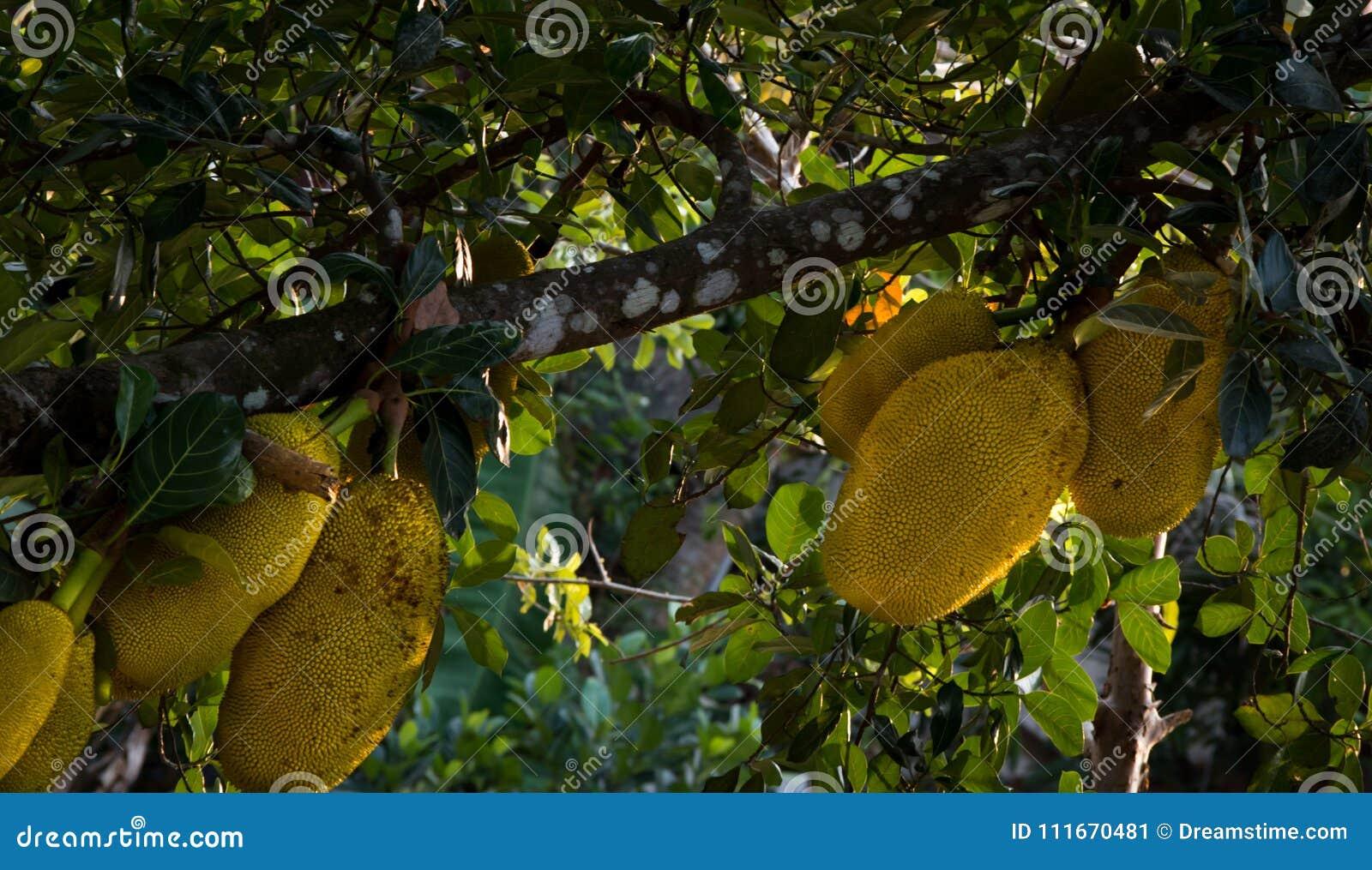 Árbol frutal de Jack en estacional