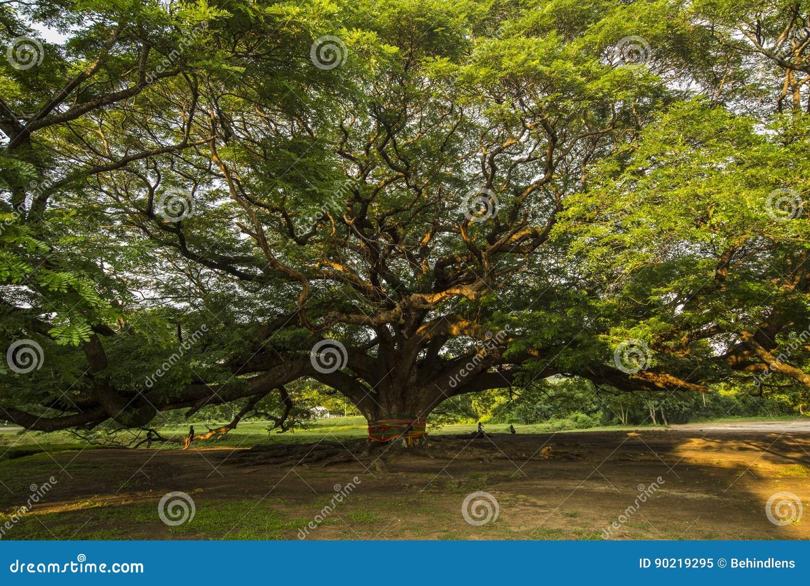 Árbol gigante conservador muy viejo en Tailandia