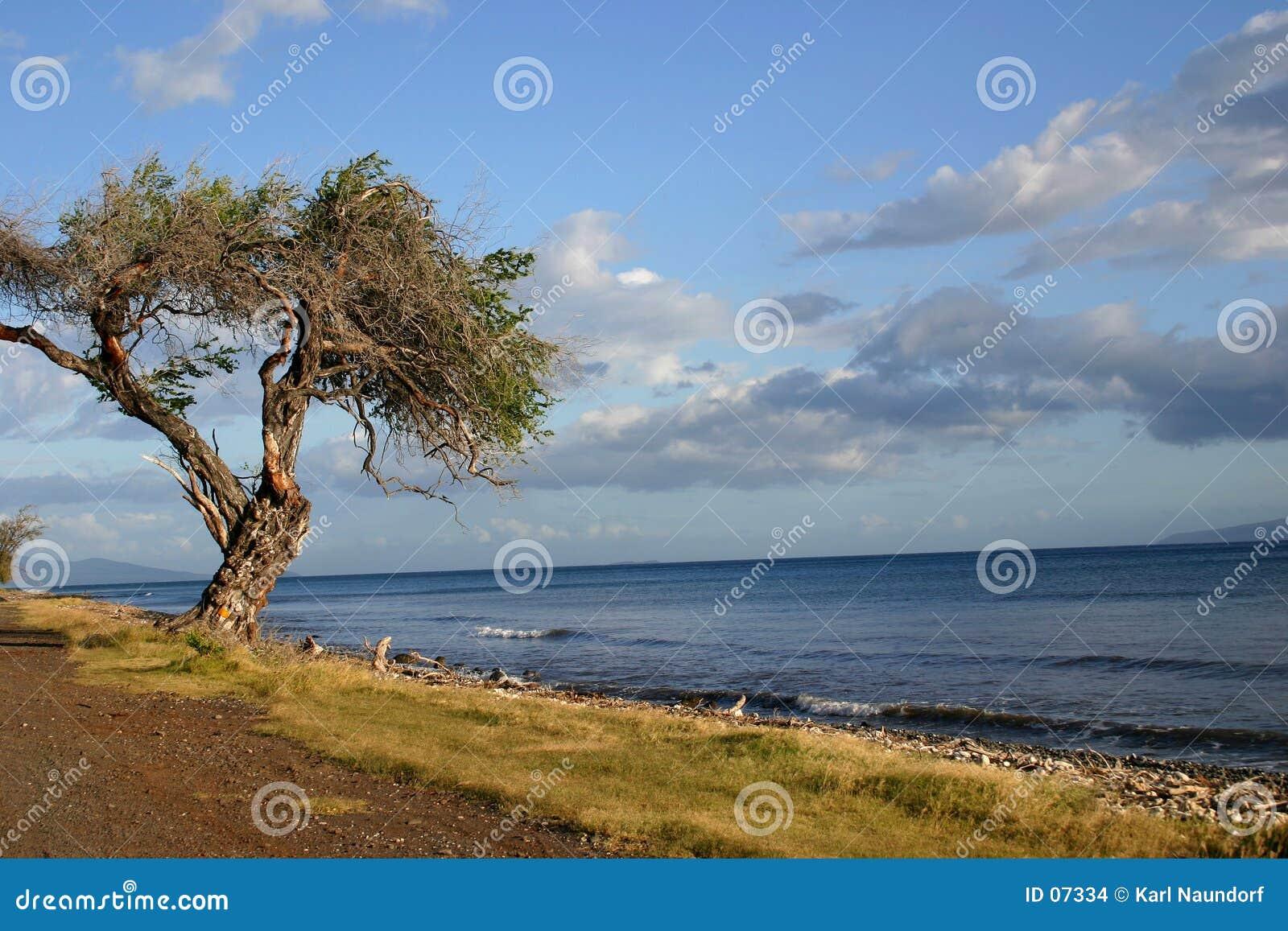 Árbol Gnarled del océano