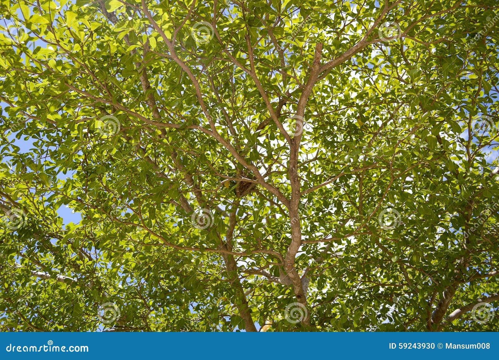 Árbol grande de la rama