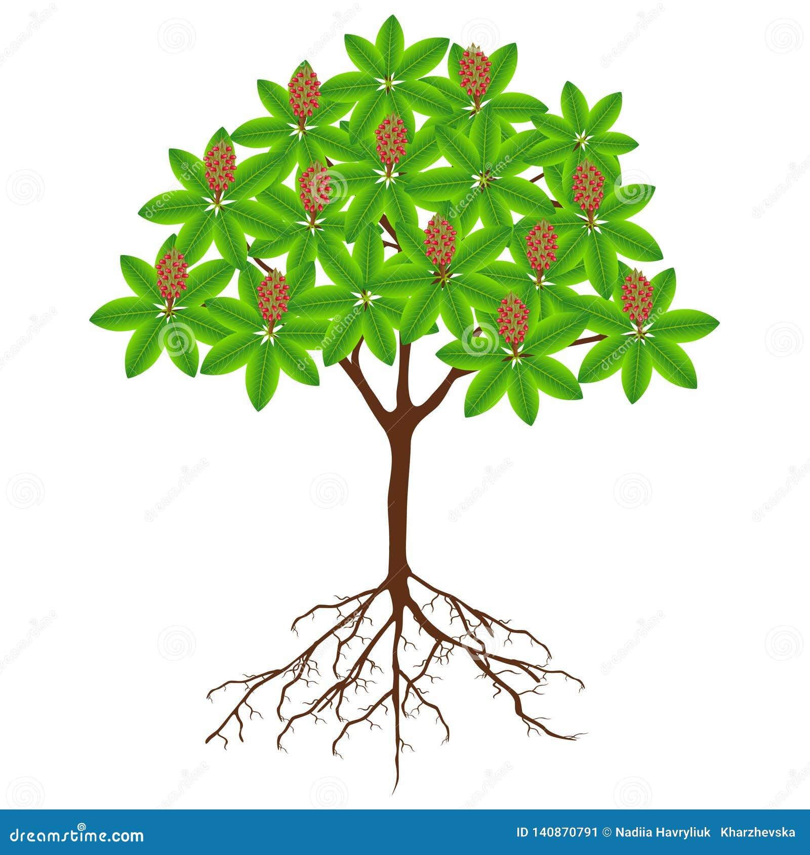 Árbol grandiflora de la magnolia con la fruta y raíces en un fondo blanco