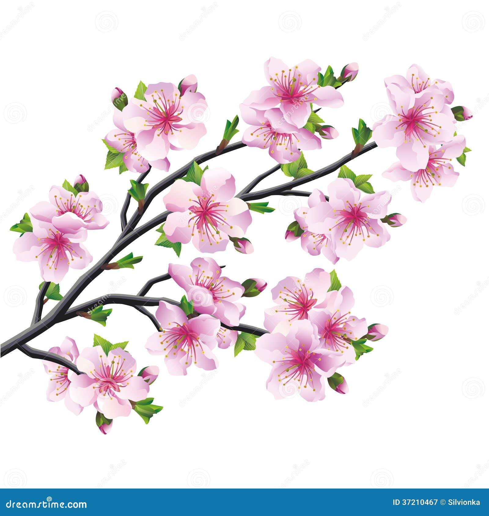 Arbol De Cerezo Japones Árbol japonés sakura, flor de cerezo aislada ilustración del