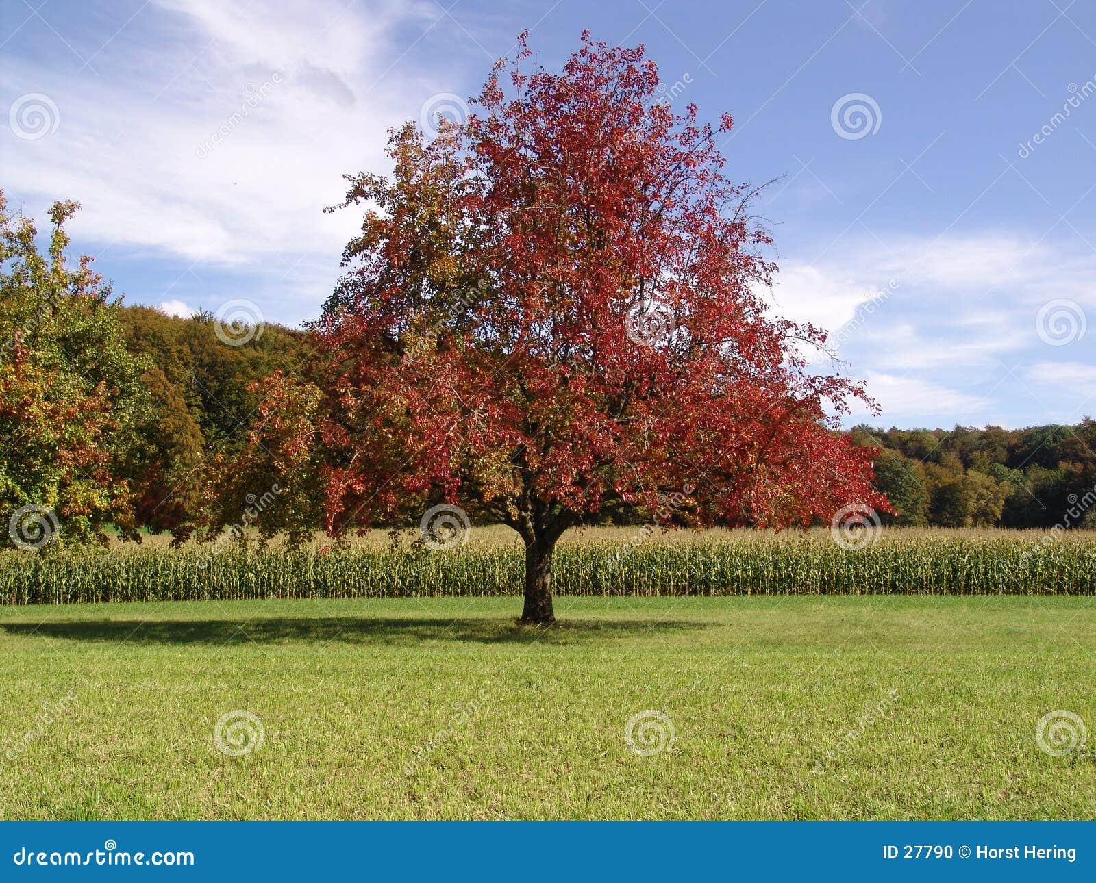 Download Árbol rojo foto de archivo. Imagen de campos, campo, colores - 27790