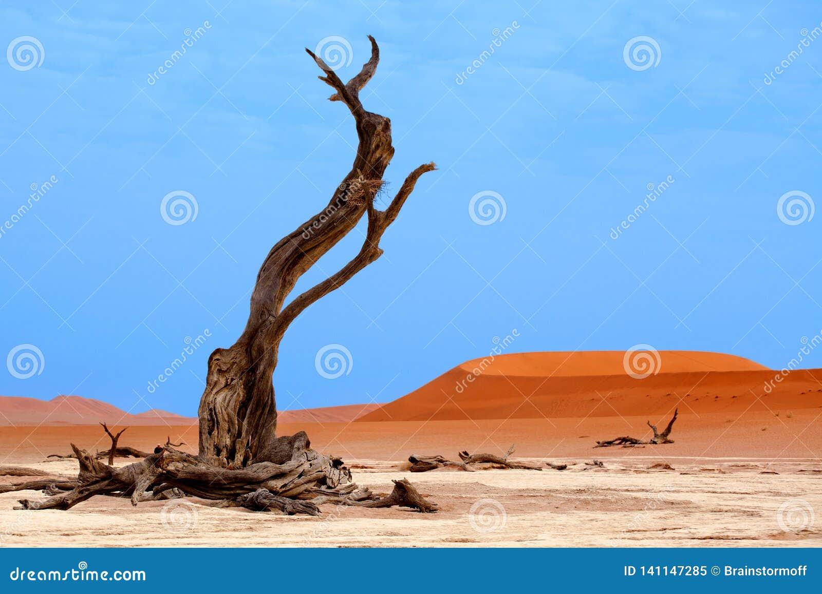 Árbol secado del acacia del camello en las dunas de arena anaranjadas y el fondo brillante del cielo azul, Namibia, África meridi