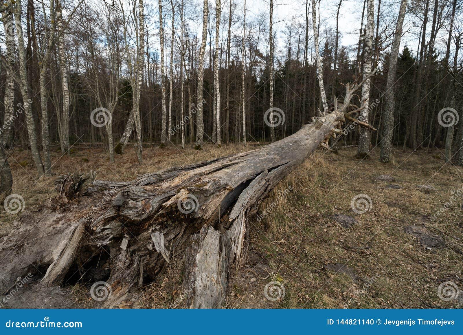 Árbol seco decaído caido viejo en el bosque con los árboles de abedul en el fondo - Veczemju Klintis, Letonia - 13 de abril de