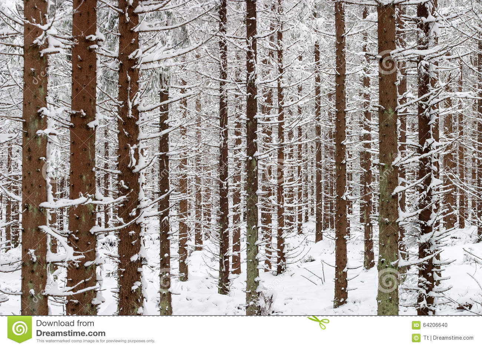Árbol Spruce en bosque de la nieve