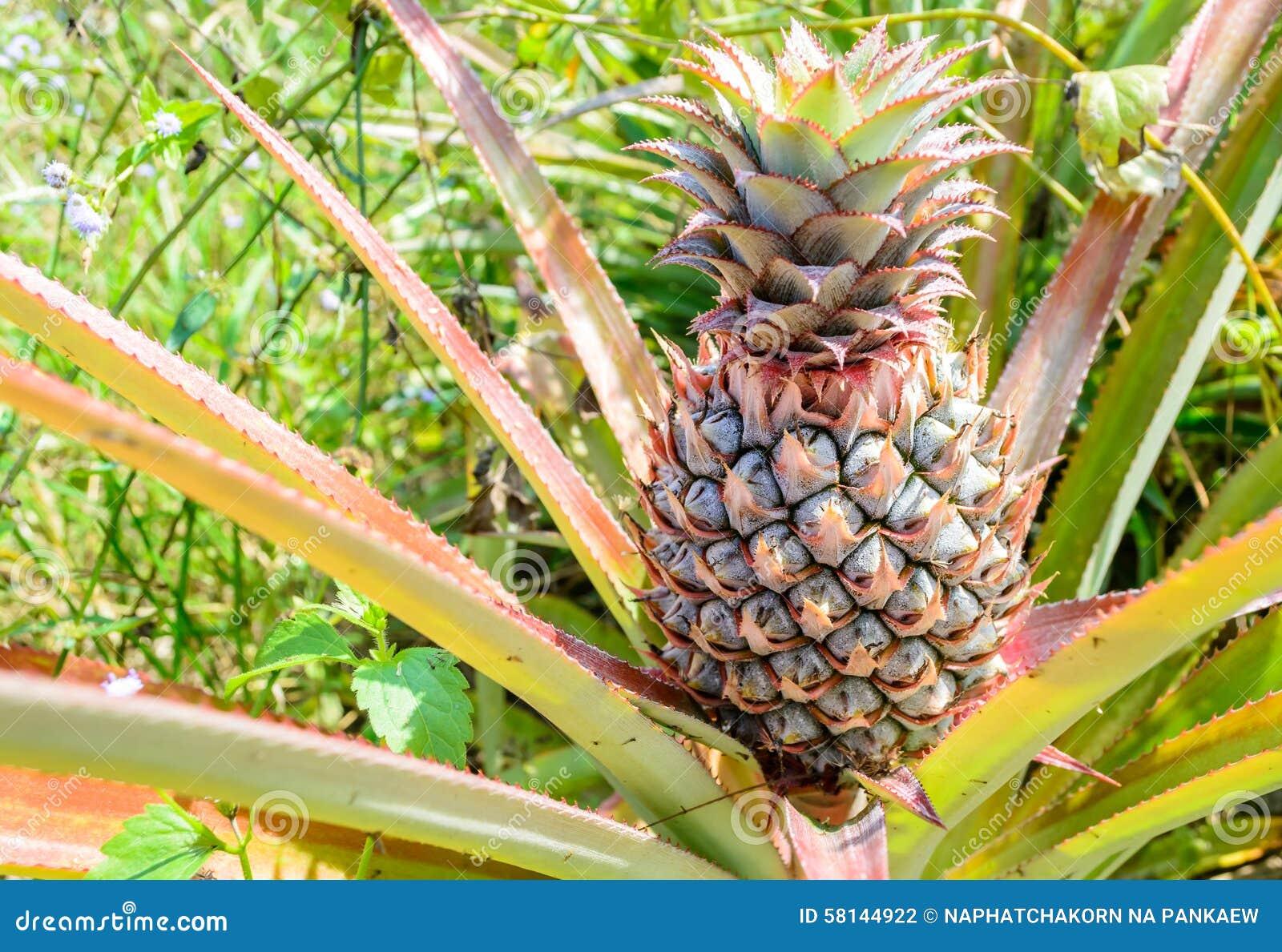 Rbol tropical fresco de la pi a foto de archivo imagen - Arbol de pina ...