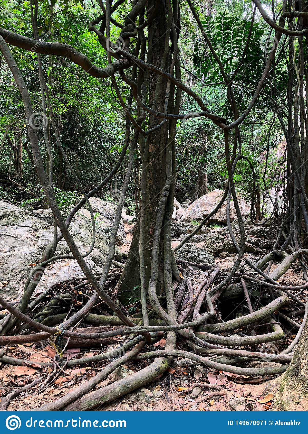 Árbol tropical torcido con las lianas en selva tropical tropical
