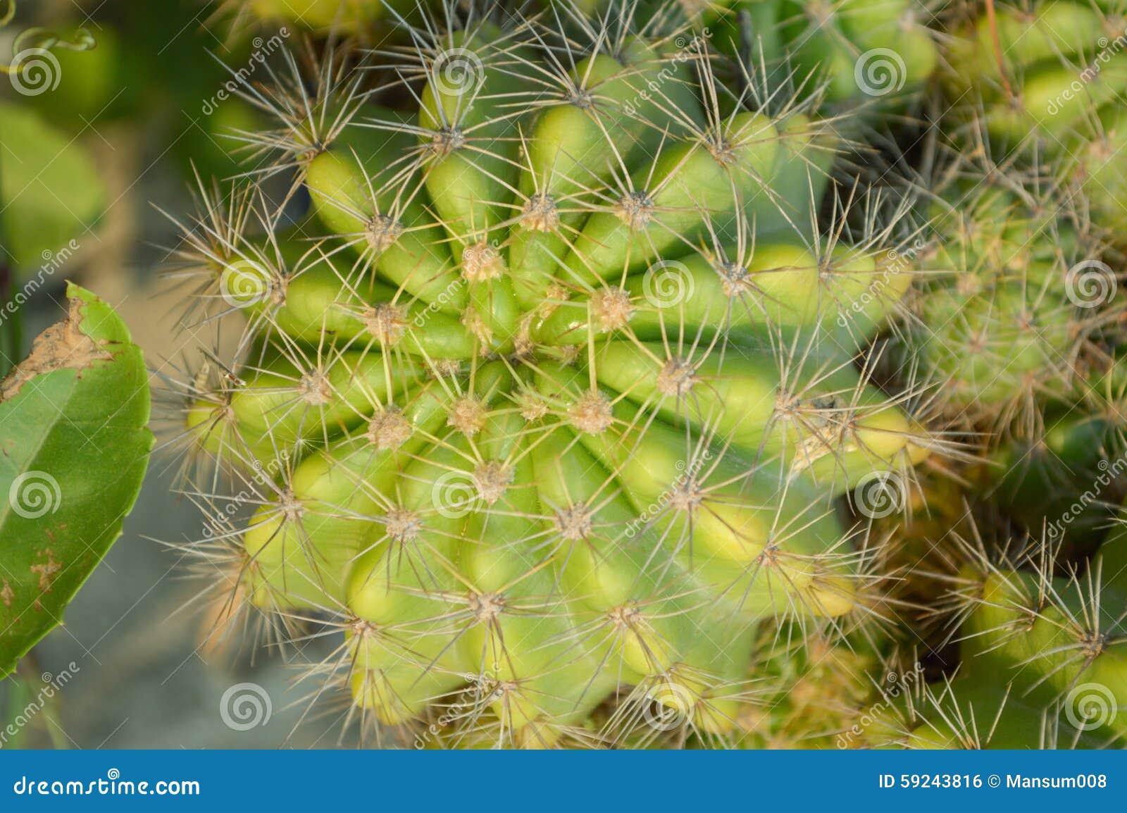 Download árbol verde del cactus foto de archivo. Imagen de fresco - 59243816