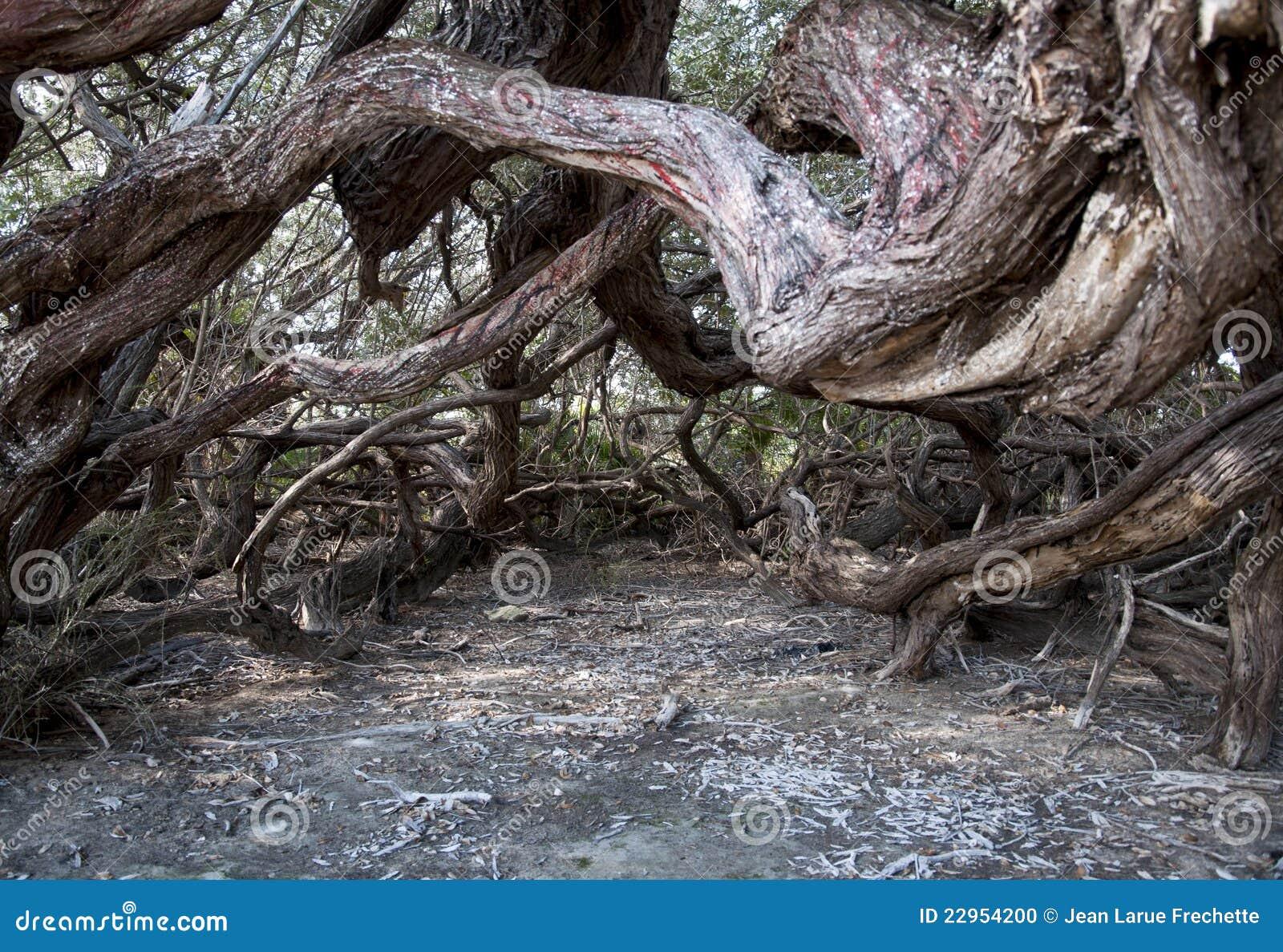 Árbol viejo de Cuba