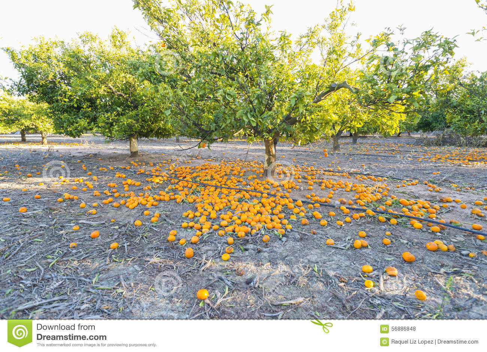 Árboles anaranjados