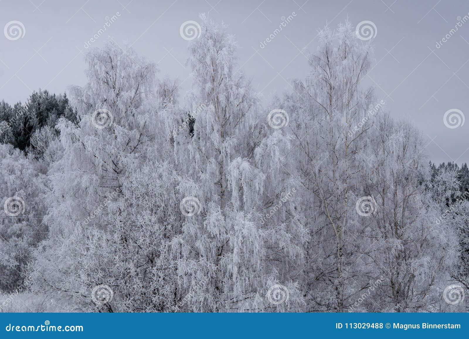 Árboles de abedul con las ramas cubiertas con helada