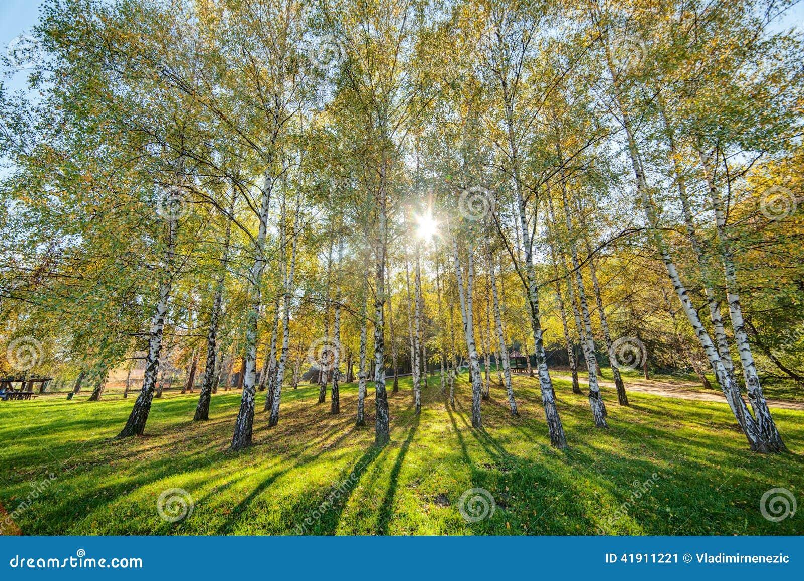 Árboles de abedul de Siver
