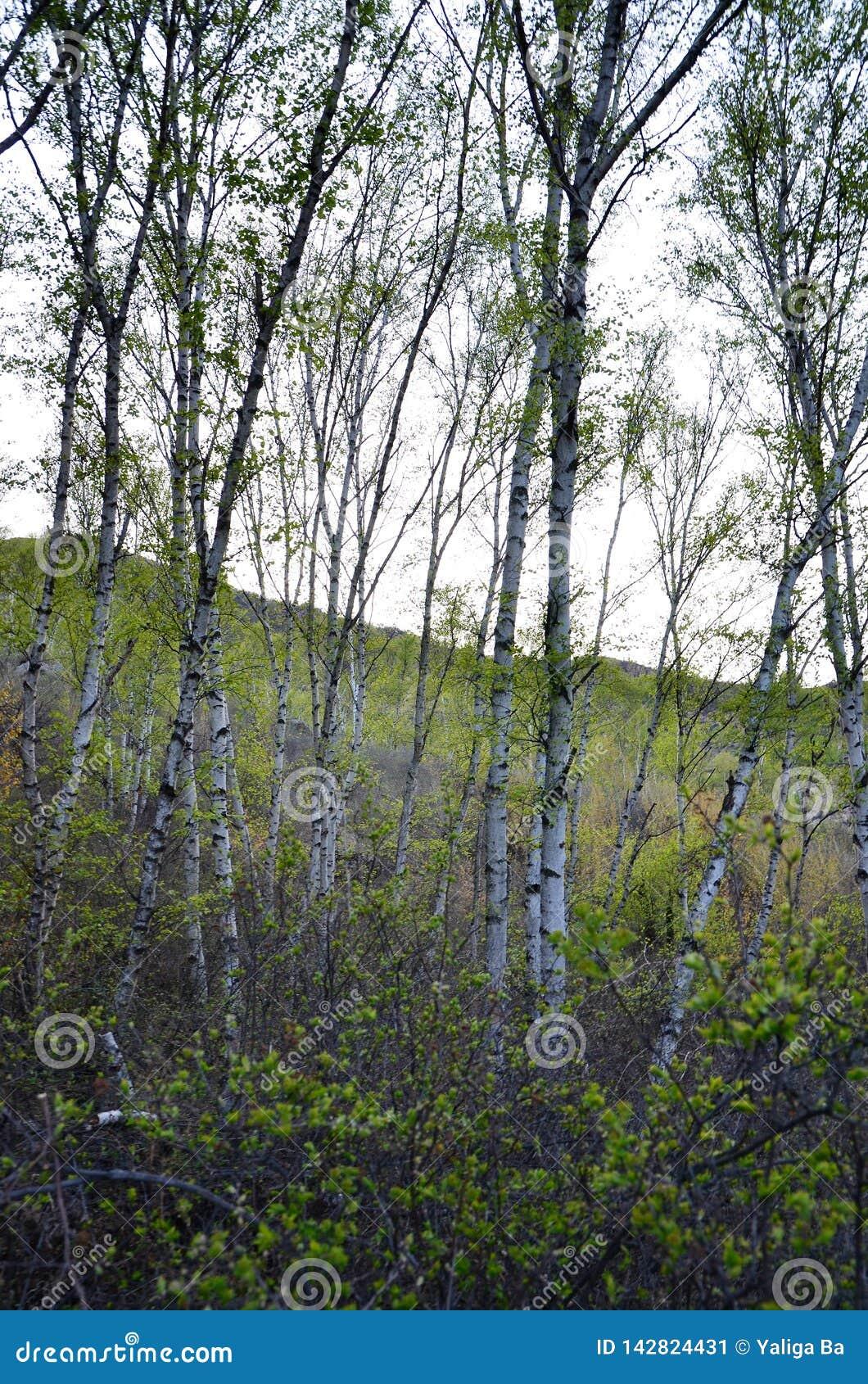 Árboles de abedul verdes en el bosque
