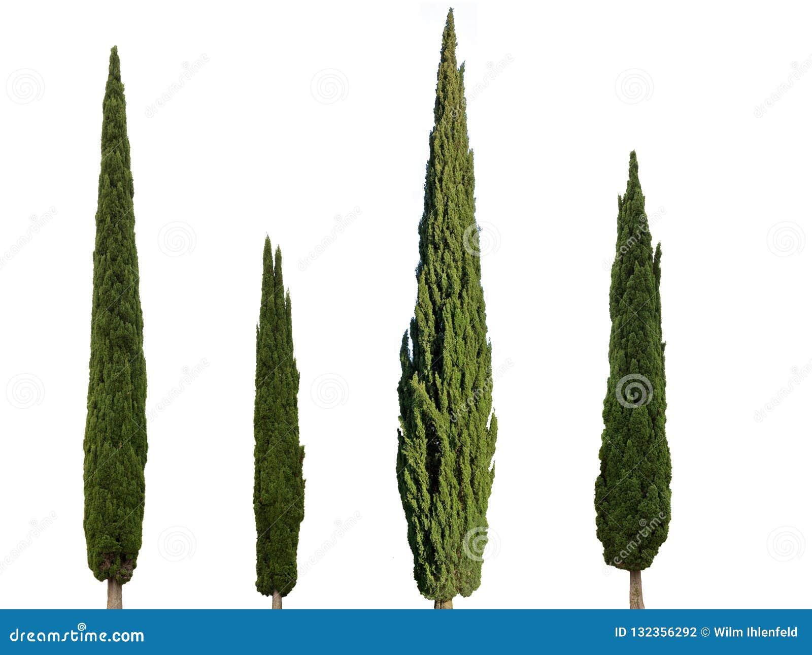 4 árboles de ciprés aislados en el fondo blanco