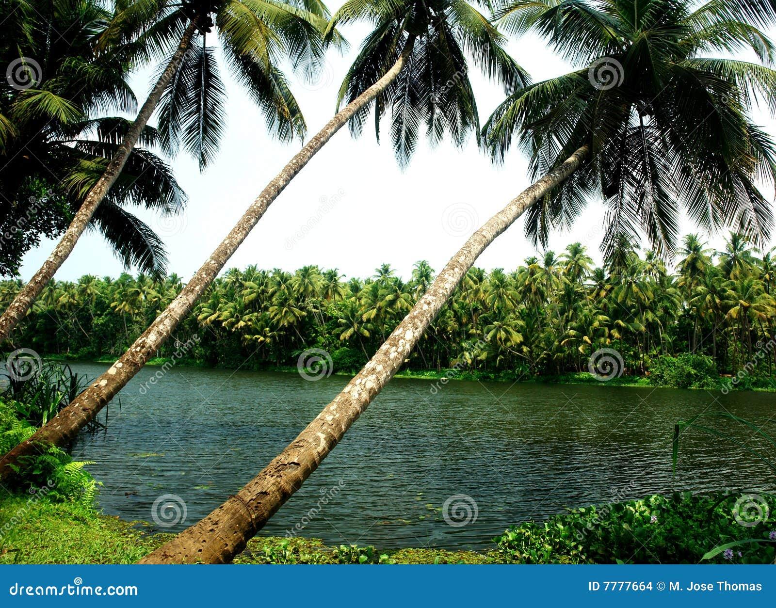 Árboles de coco
