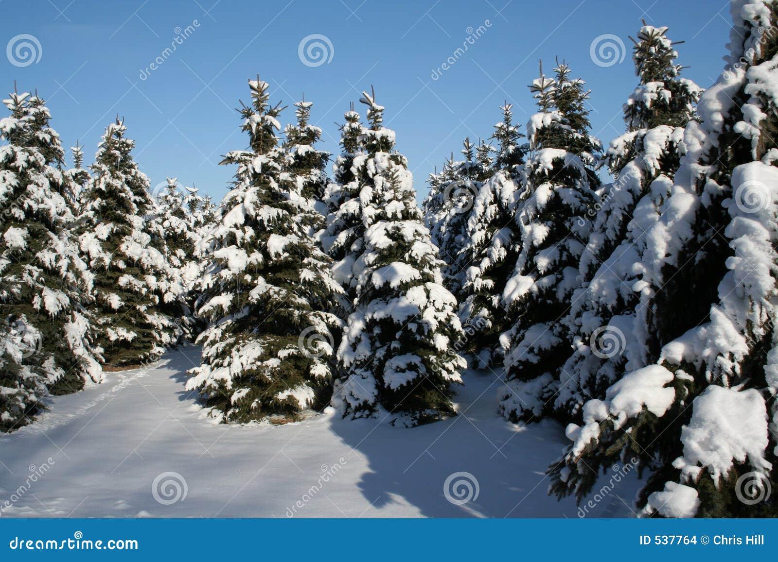 Rboles de hoja perenne nevado foto de archivo imagen de for Arboles para veredas hojas perennes