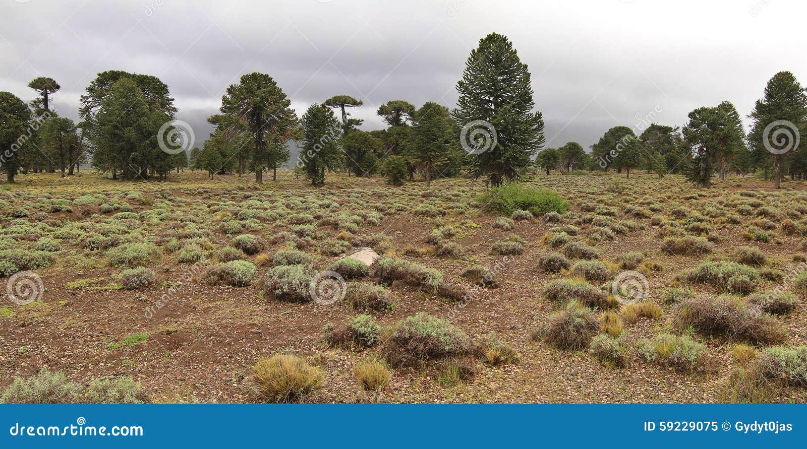 Árboles de la araucaria (araucana de la araucaria) en el parque nacional de Lanin