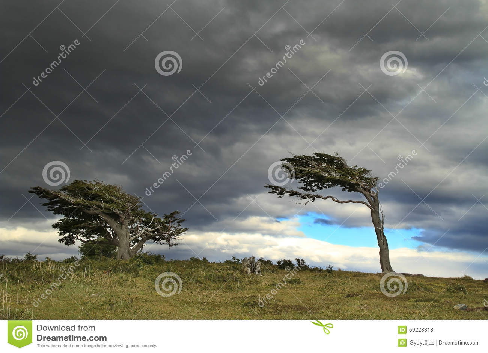Download Árboles De La Bandera En La Patagonia, La Argentina Foto de archivo - Imagen de formado, viento: 59228818