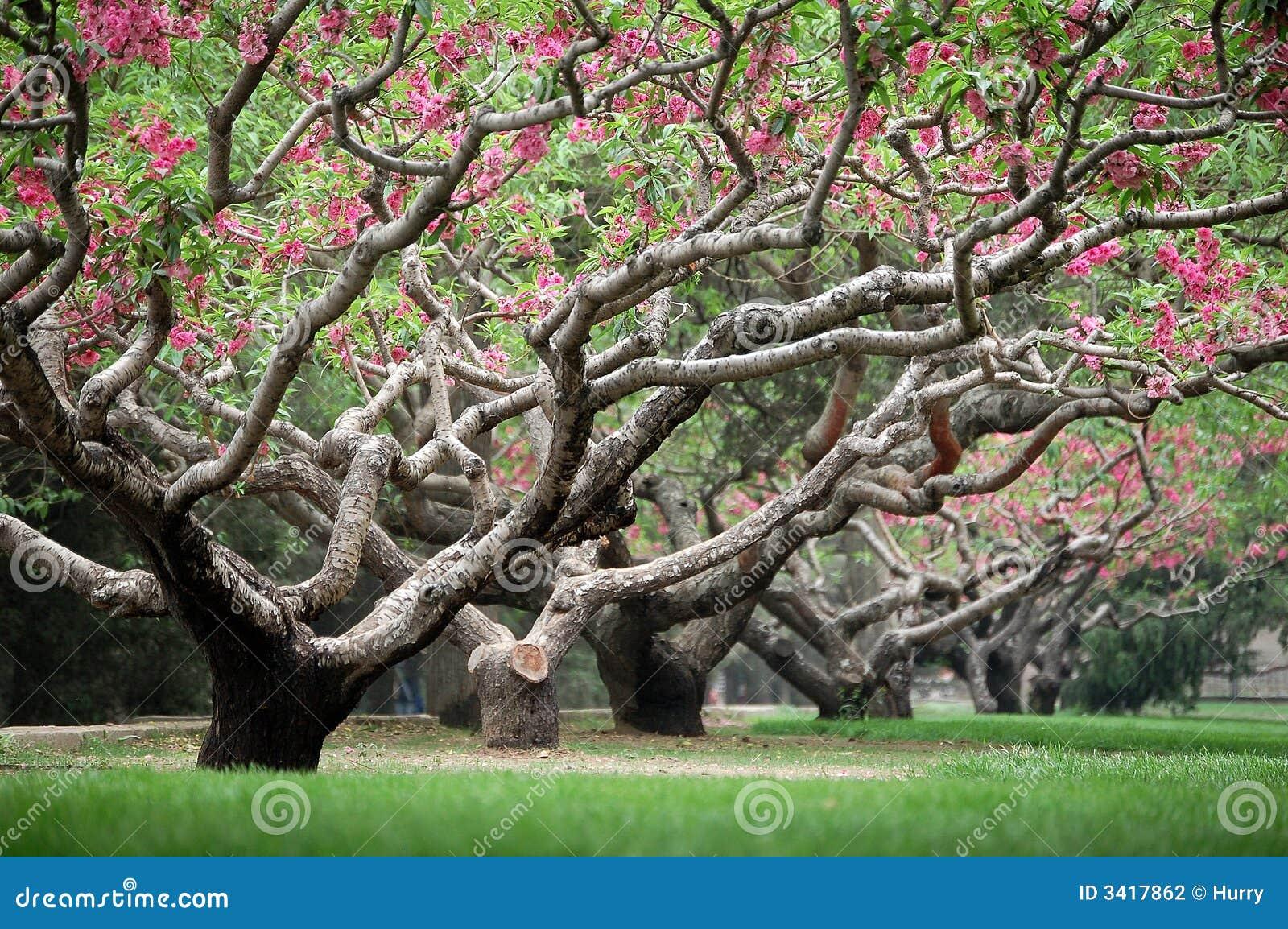 Árboles de melocotón en resorte