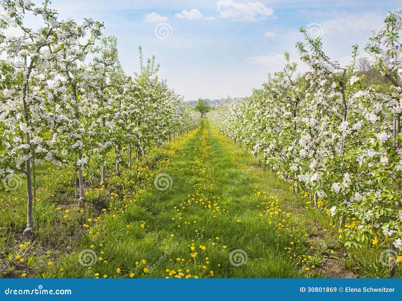 Árboles de melocotón florecientes