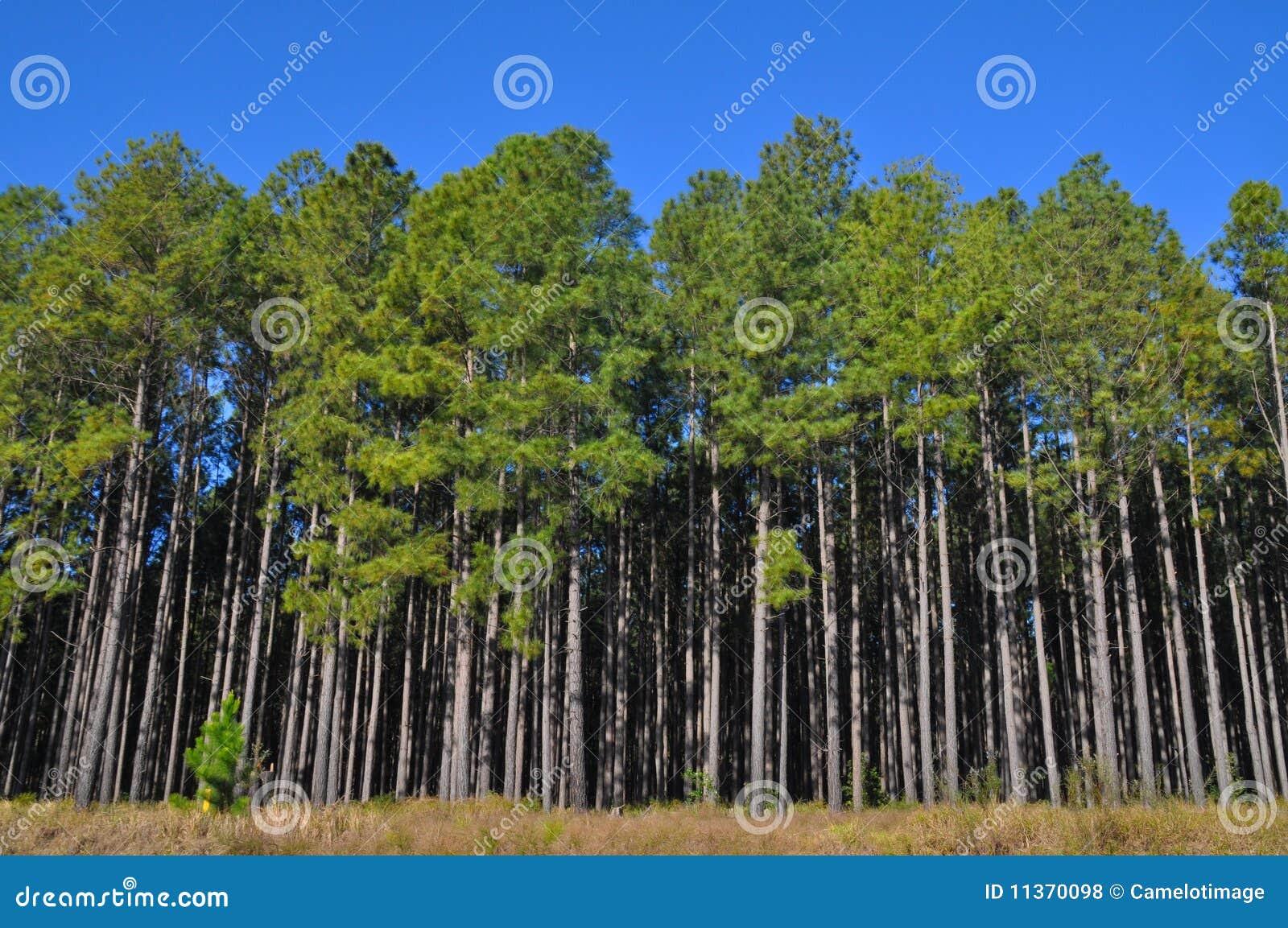 Árboles de pino altos en el borde de una plantación grande